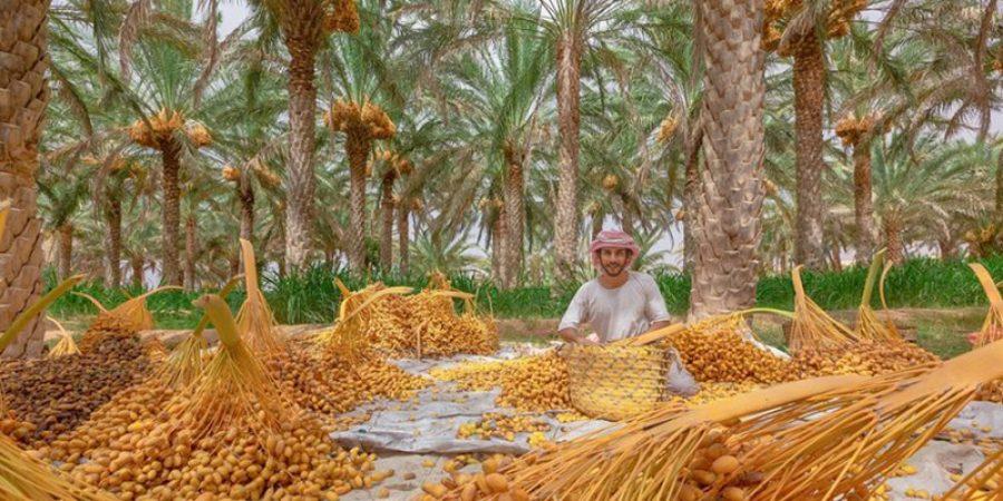 يغلب على بعض مناطق سلطنة عُمان اللون الأصفر مع قدوم موسم التبسيل.