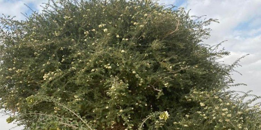 توثيق شجرة فريدة من نوعها في سلطنة عُمان