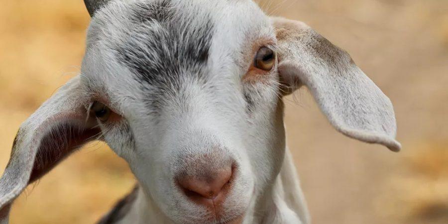 الماعز من جنس الوعل | أرشيف التأمل